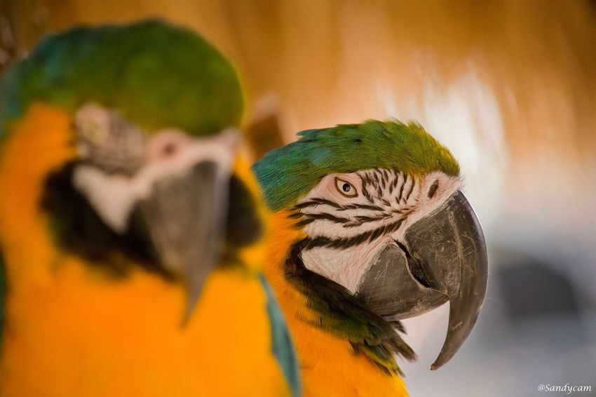 Parrots Parrots Parrots Birds Bird Photography Wildlife Photography Wild EyeEm Selects Bird Parrot Gold And Blue Macaw Animals In The Wild Animal Themes Macaw Animal Wildlife Focus On Foreground Beak Nature Day Close-up One Animal No People Outdoors