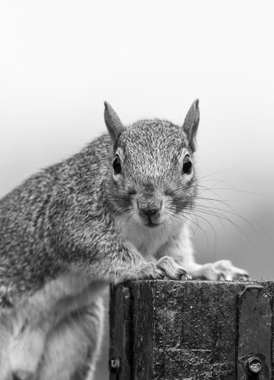 Animals In The Wild Black & White Squirrel Wildlife & Nature Animal Animal Head  Animal Themes Animal Wildlife Animals In The Wild Black And White Blackandwhite Blackandwhite Photography Looking At Camera Mammal Mono Monochromatic Monochrome Monochrome _ Collection monochrome photography One Animal Portrait Whisker Wildlife