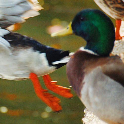 Bird Animal Themes Duck Waterfowl Gerry Park aAnimal WildlifefFeeding aAnimal Body PartcClose-upbBeakoOutdoorsdDaynNaturewWaternNo People