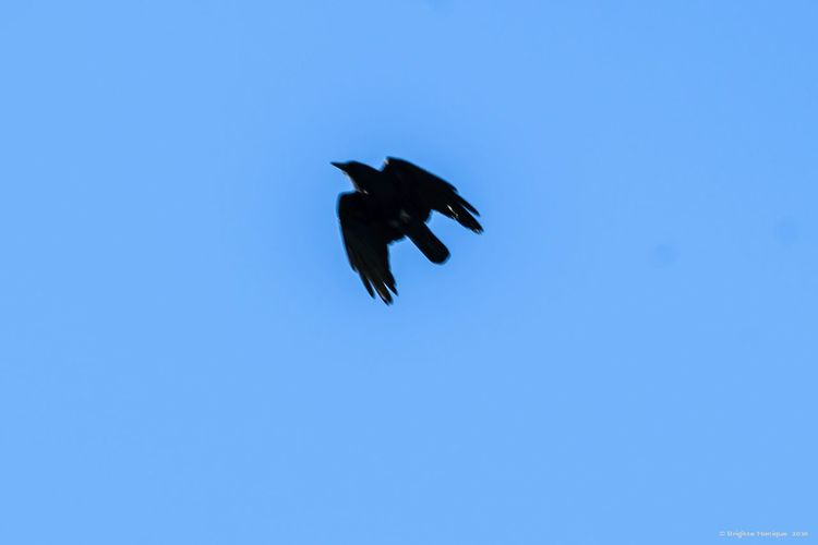 Blue Flying Clear Sky Low Angle View Bird One Animal No People Sky Animal Wildlife Full Length Outdoors Day Animals In The Wild Nature At Your Doorstep EyeEm Nature Lover My Year My View Bird Of Prey Beauty In Nature Animal Themes Nature Low Angle View