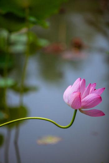 Flower Head Flower Water Leaf Lake Lotus Water Lily Pink Color Flamingo Petal Close-up