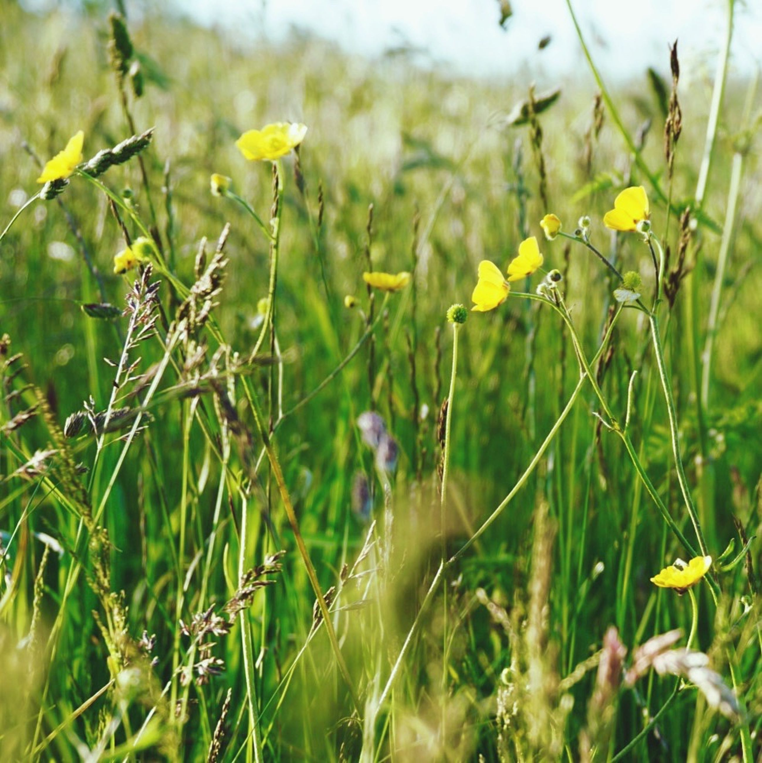growth, flower, plant, freshness, field, nature, focus on foreground, beauty in nature, yellow, close-up, stem, fragility, grass, selective focus, tranquility, day, green color, outdoors, wildflower, growing
