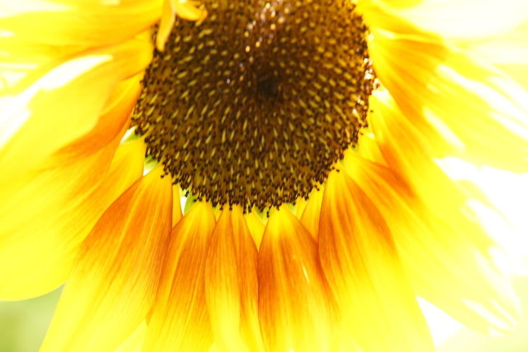 Backgrounds Beauty Beauty In Nature Close-up Day Flower Flower Head Fragility Freshness Full Frame Macro Nature No People Outdoors Petal Plant Pollen Seed Sonne, Sommer, Früling, Wärme Stamen Sunflower Sunflower Seed Yellow