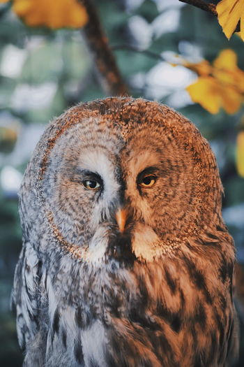 Japan Autumn One Animal Animal Themes Animal Animal Wildlife Animals In The Wild Vertebrate Bird Focus On Foreground Bird Of Prey Owl Close-up Day Looking At Camera No People Portrait Nature Animal Body Part Outdoors Looking Animal Head  Animal Eye Yellow Eyes Eagle