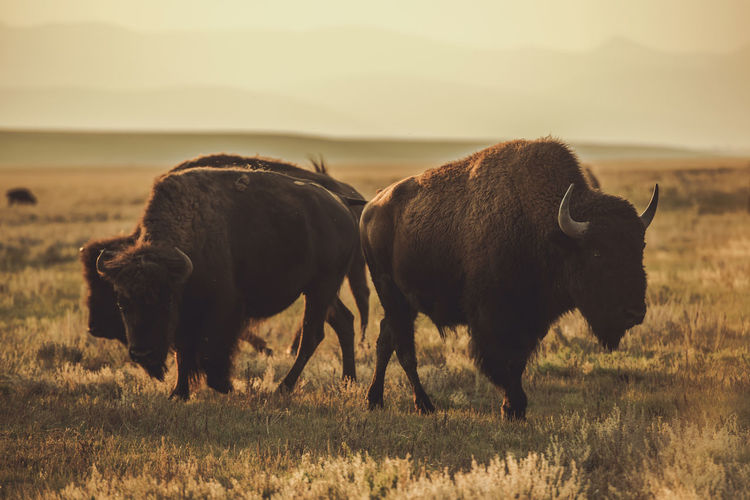 Herd of north american bisons during sunset. colorado prairie wildlife.