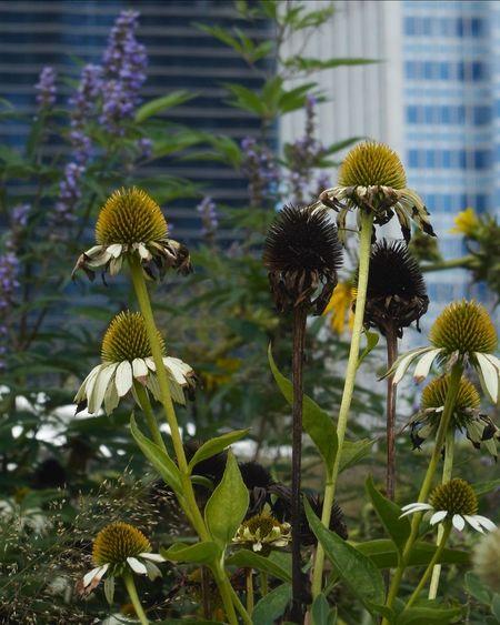 Urban Nature oration] Urban Landscape Urban Gardening Plants Millennium Park Fall Beauty