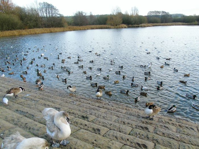 Water Animals In The Wild Animal Themes Tree Flock Of Birds Large Group Of Animals Beauty In Nature Swan Chew Valley Lakes Not Quite A Swan Yet