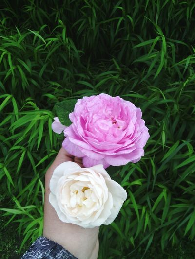 Roses🌹 Roses Are White Roses Are Pink Roses World 🌹❤️🌹 Hello World ✌ Flowers Roses Flowers