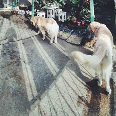 ก่อนออก Pet Pet13 Dog Goldenretriever