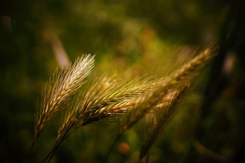 Wheatgrass Plant Growth Crop  Nature Agriculture Beauty In Nature Close-up Cereal Plant Focus On Foreground Day Tranquility No People Land Outdoors Selective Focus Green Color Wheat Sunlight Field Barley