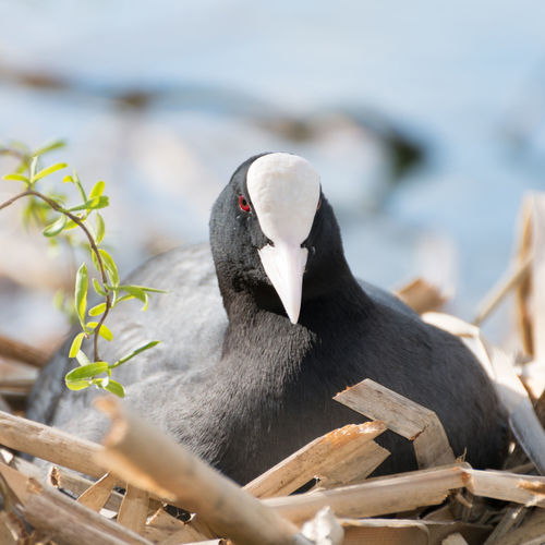 Close-Up Of Coot Relaxing In Nest
