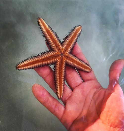 Human Hand Starfish  Human Finger Human Body Part Star Shape One Animal Personal Perspective Animal Themes Holding Sea Life Animals In The Wild Close-up Jamaica Negril 7 Mile Beach Day Water Palm Lifestyles