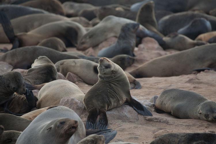 High angle view of sea lions on beach
