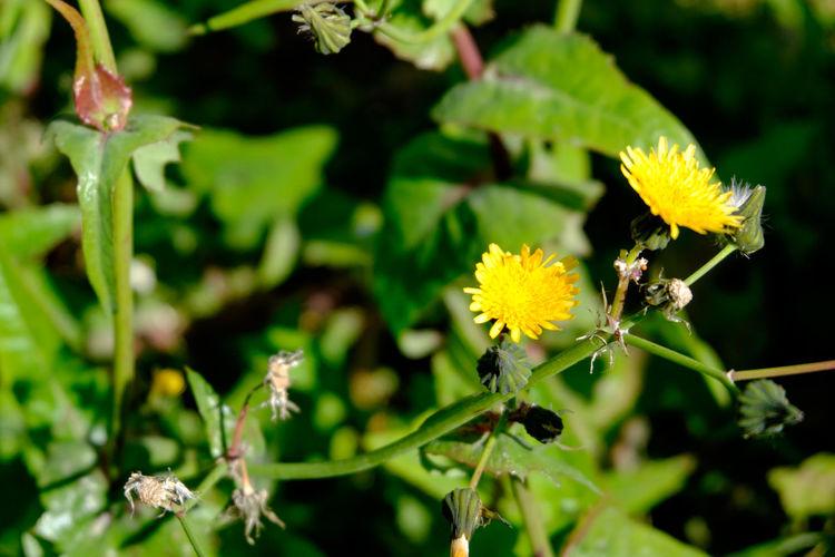 ノゲシ Blooming Botany Close-up Flower Flower Head Flowerporn Flowers Fujifilm Fujifilm X-E2 Fujifilm_xseries Growth Japan Japan Photography Nature Petal Plant Tokyo Ueno Yellow ノゲシ 上野 日本 東京