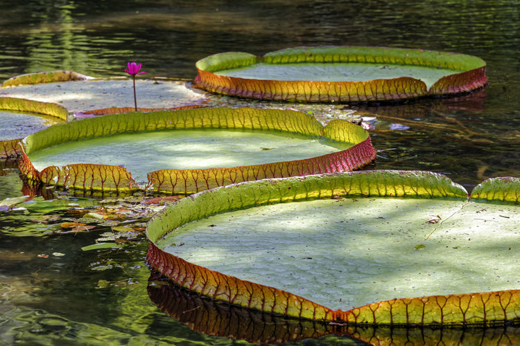 Victoria Regia, large common tropical aquatic plant in the Brazilian Amazon region with its circular leaf floating on the water surface. Nature Plant Victoria Amazonica Aquatic Plants Beauty In Nature Biodiversity Ecossystem Floating On Water Flora Forest Lake Leaf Leaves Lily Pad Lotus Water Lily Nature Outdoor Outdoors Pate Rainforest Tranquility Tropical Vitoria Regia Water Water Lily