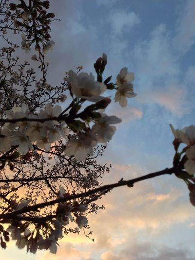 桜 奈良 夕方