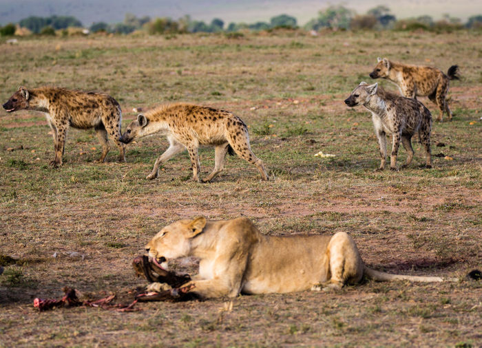 Lioness hunting on field with hyena in background