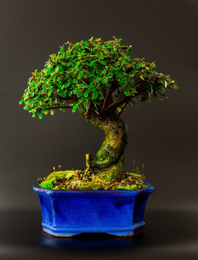 Cotoneaster bonsai. Only a few years young but growing well. Tree TreePorn Trees Black Background Bonsai Bonsai Tree Cotoneaster Flower Pot Freshness Green Color Growth Leaves Moss Plant Potted Plant Tree_collection