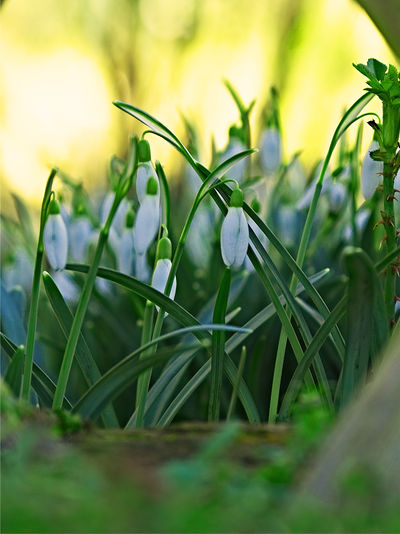 Frühlingsboten Eye Em Best Shots - Nature EyeEm Best Shots EyeEm Nature Lover Spring Messengers Frühlingsboten Schneeglöckchen Snow Drops Snowdrops