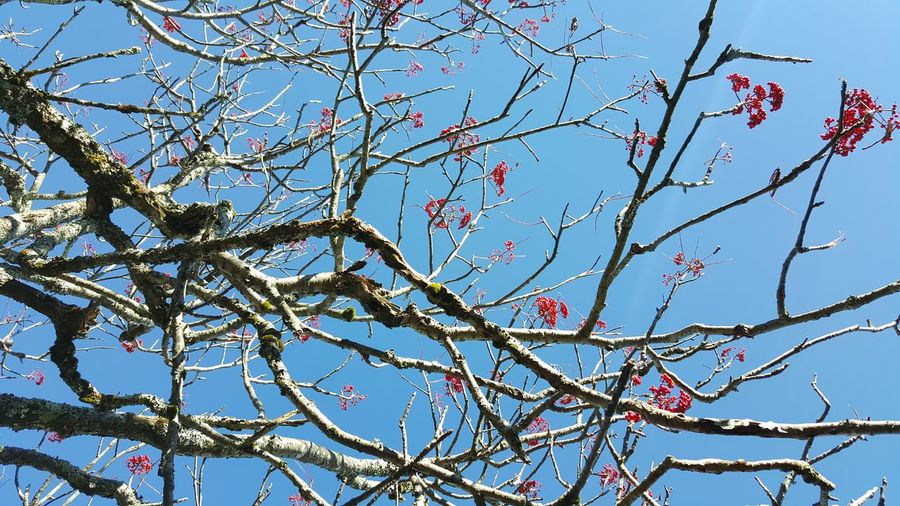 Low Angle View Tree Sky Nature Beauty In Nature Branch Clear Sky Outdoors No People Day Growth Freshness Close-up Red Berries Blue Sky Red And Blue Blue Ridge Mountains North Carolina United States
