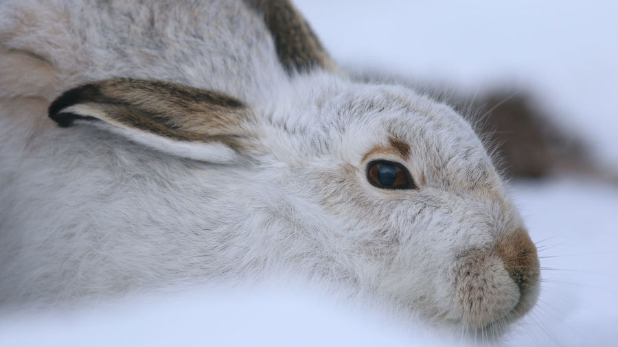 Cairngorms Cairngorms National Park Cairngorms, Scotland  M Animal Themes Cairngorm Mountain Close-up Hare Mammal Mountain Hare One Animal Portrait