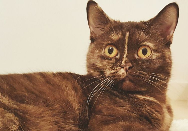Domestic Cat Pets Looking At Camera Animal Themes One Animal Close-up Portrait Whisker Feline Cat British Shorthair Surprised Chocolate Cat Yellow Eyes Tortoise Domestic Animals No People Animal Cute Cute Pets Cute Cats