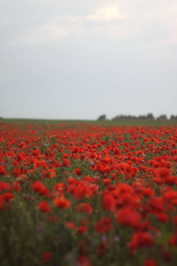 Close-up of red flowering plants on field against sky