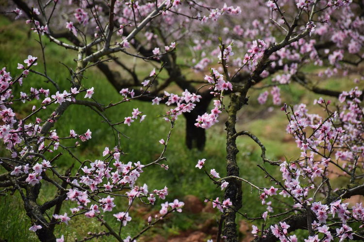 Flower Peach Peachtree Pink Pink Flower Spring Spring Flowers