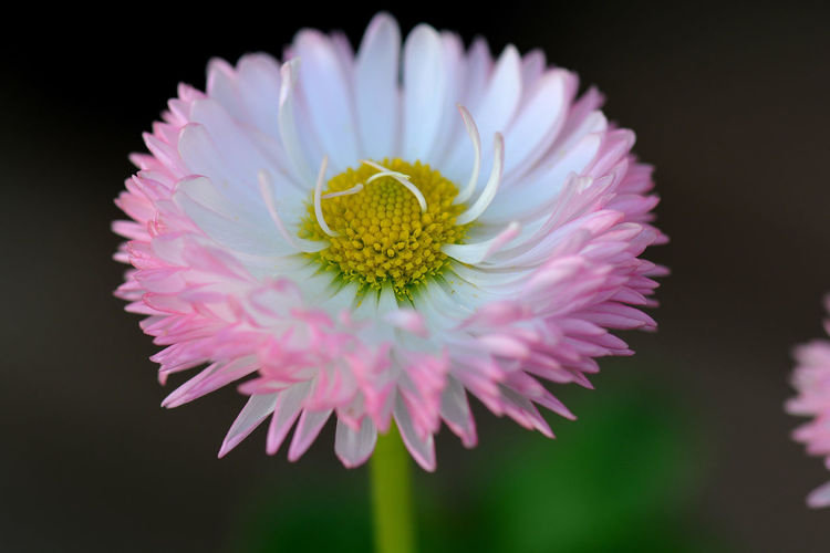 Close-up of pink daisy flower against black background