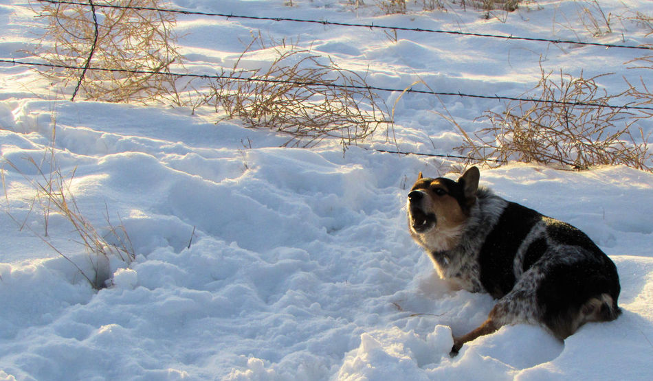 Brat Cold Cold Days Cold Temperature Cold Winter ❄⛄ Coldweather Corgi Cute Cute Cats Cute Dog  Cute Pets Cute♡ Dog Dogs Dogslife Dog❤ Snow Snow ❄ Welsh Corgi