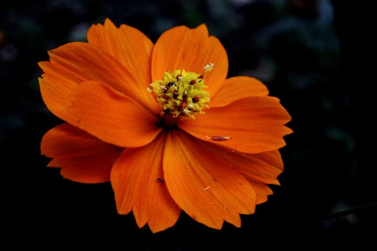 Close-up of orange cosmos flower