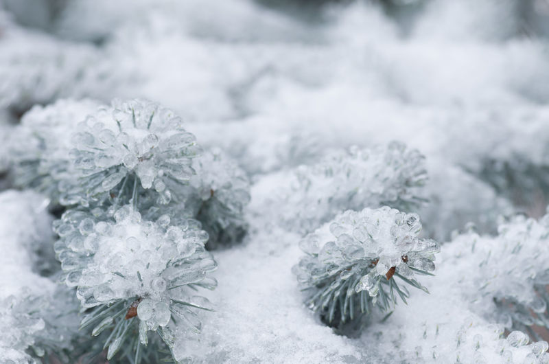 Close-up of frozen conifer tree