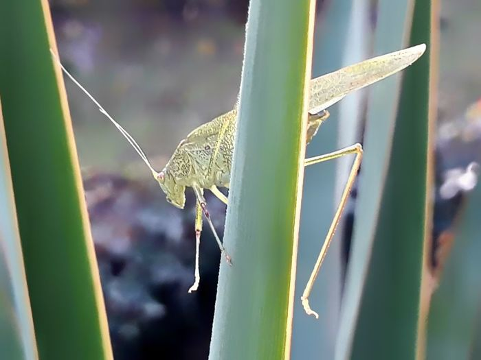 Grasshoppers Green Colour Green Colours Grasshopper Grasshopper Insect Nature Insects  Insects Beautiful Nature Nature Nature Photography Naturelovers Cavalletta Macro Macro Photography Eyem Eyem Best Shots EyEm Selects Eyemphotography Eyem Nature Thank You My Friends 😊 Insect On Plant Grasshopper On Plant Insect Close-up Animal Themes Plant Green Color