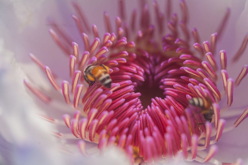 Bee. In.... Underwater UnderSea Sea Life One Animal Animal Wildlife Reef Sea Coral Purple Nature Animals In The Wild Close-up Animal Themes Pink Color No People Scuba Diving Science Beauty In Nature Outdoors Day Bee And Flower Lotus Water Lily Lotus Thai Lotus Flower Lotusflower