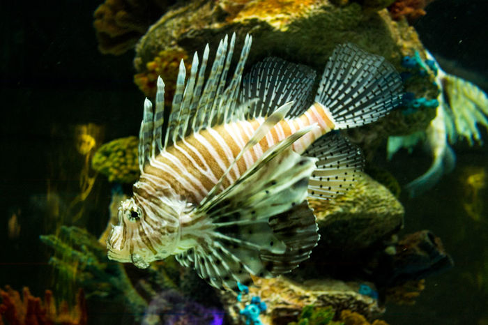 Temaiken Animal Themes Aquarium Close-up Indoors  One Animal Scorpion Fish Sea Life Underwater Water
