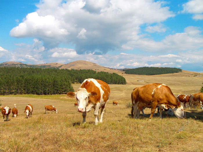 Cows in the field, mountain Zlatibor, Serbia. Serbia Animal Animal Themes Cloud - Sky Cow Domestic Domestic Animals Environment Field Grass Group Of Animals Land Landscape Livestock Mammal Nature No People Outdoors Plant Sky Zlatibor