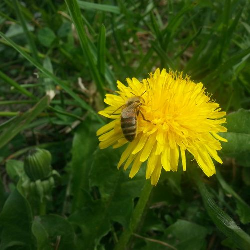 Spring Into Spring Flowers Macro Bee Nature Yellow Yellow Flower Green Insects  Grass