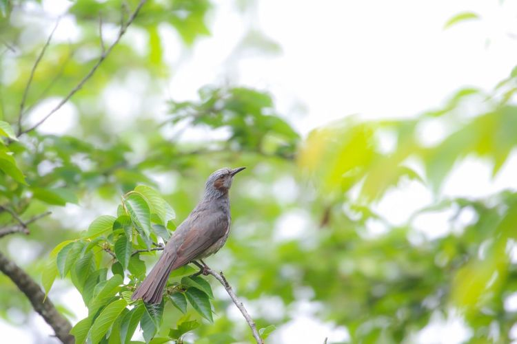 Bird Animals In The Wild Perching Animal Wildlife Tree One Animal Animal Themes Branch Leaf Nature Focus On Foreground Day No People Green Color Low Angle View Songbird  Plant Beauty In Nature Outdoors Mourning Dove ヒヨドリ 野鳥 野生動物 日本