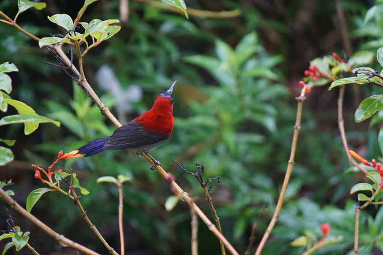 Animal Themes Bird Animal Vertebrate Animal Wildlife One Animal Animals In The Wild Perching Plant No People Focus On Foreground Day Red Nature Beauty In Nature Green Color Branch Outdoors Tree Cardinal - Bird