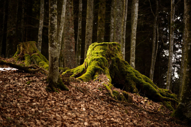 Erve Erve Miozzo Photo Miozzo Tranquil Scene Dirt Day Green Color No People Tranquility Beauty In Nature Plant Part Growth Moss Environment Plant Land Nature Forest Tree Trunk Rainforest Tree Trunk WoodLand Landscape