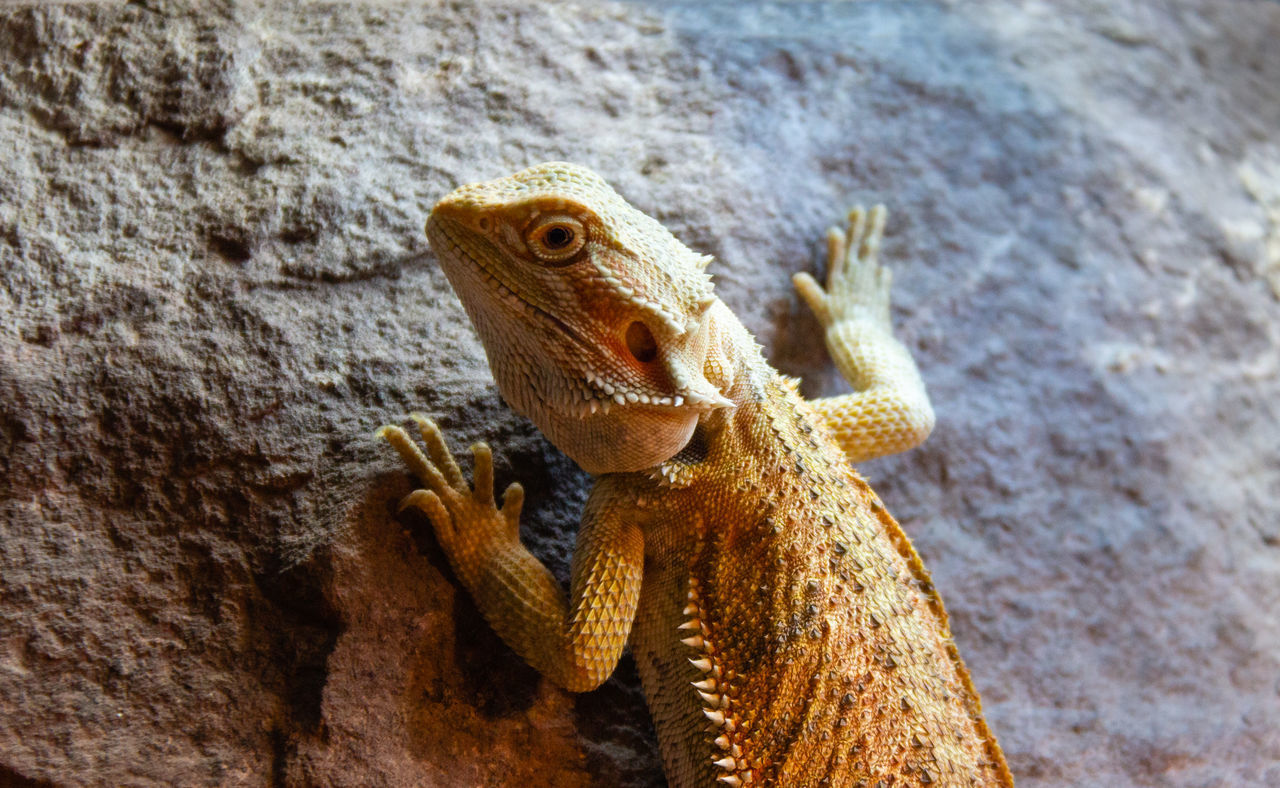 animal themes, one animal, animal, animal wildlife, animals in the wild, vertebrate, close-up, no people, day, bearded dragon, solid, rock, reptile, rock - object, lizard, nature, outdoors, focus on foreground, textured, animal body part, marine