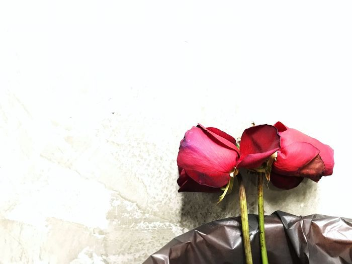 Red Rose White Background Concrete Wall Copy Space Bokeh Hearts Valentine Love Flower Petal Flower Head Freshness Rose - Flower Vase Fragility Nature Close-up Beauty In Nature No People Indoors  Red Day
