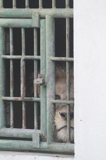 Animal Bars Cage Lion Locked Up No Hope Prison Sadness Window