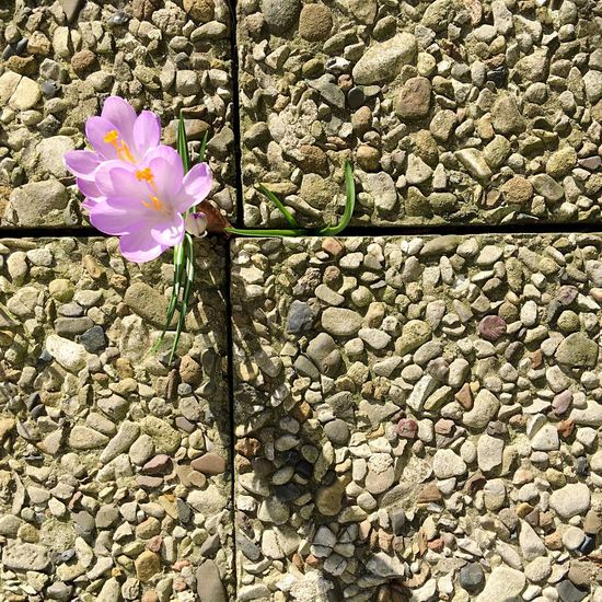 Flower Beauty In Nature Nature Fragility Petal Growth Flower Head Outdoors Day Blooming No People Close-up Flowers In The City Contrast Pattern Lines Square Cement Concrete Defy Mondrian Sunny Day Beton Background