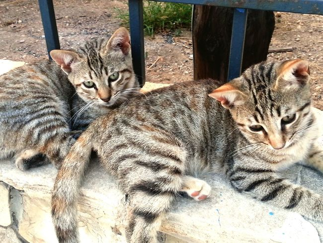 Cats Twins