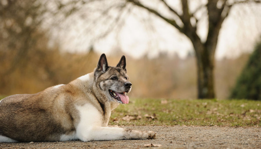Japanese akita relaxing on field