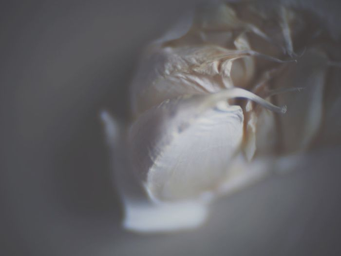 Garlic Toylens