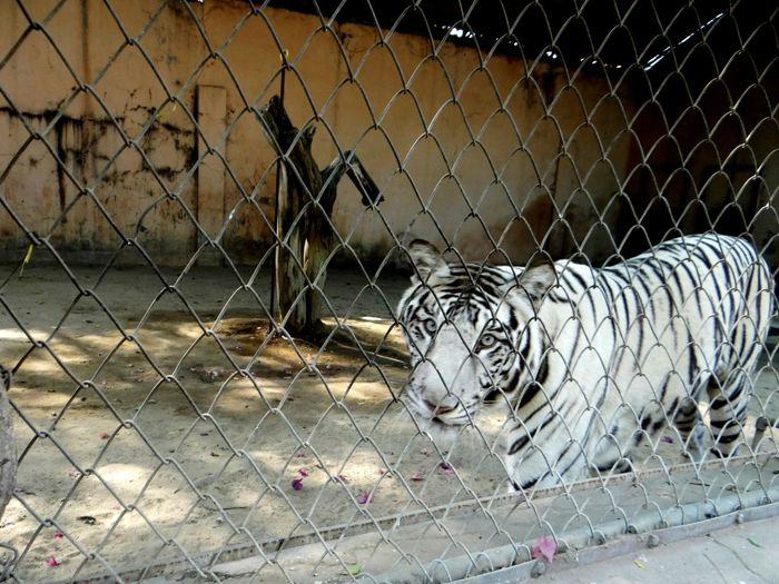 Chainlink Fence Fence Animal Themes No People One Animal Nature Outdoors Day Close-up Tigereyes Royalbengaltiger Whitetiger King Stripes On A Tiger Captivity Of A Wild Best Captivity Or Protection? Zoo Animals  Blue Eyes Gaze Soul First Eyeem Photo Lost In The Landscape
