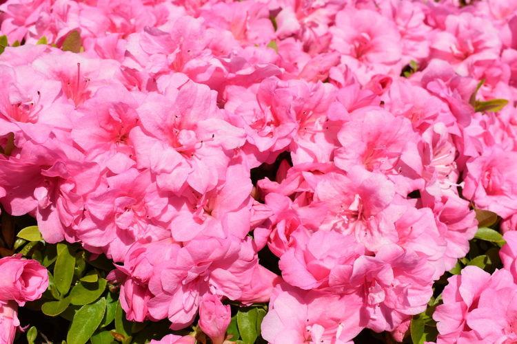 Full frame shot of pink cherry blossoms