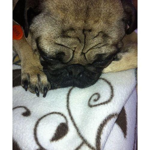 Pug Dog Sad Cutiehead